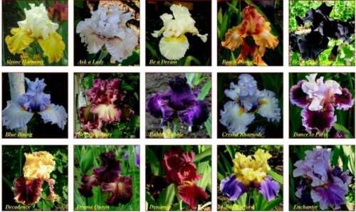 Mix Flowers Garden Perennial Plants Flowers,50+seeds Iris seeds