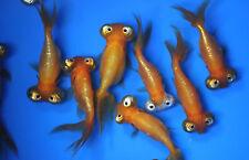 Live Celestial eye Goldfish sm. for fish tank, koi pond or aquarium