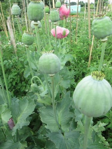 50 Papaver setigerum graines-PAVOT de Troy-Le géant Poppy-Achetez 1 obtenez 1 GRATUIT