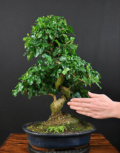 bonsai chinesischer liguster ligustrum sinensis indoor. Black Bedroom Furniture Sets. Home Design Ideas