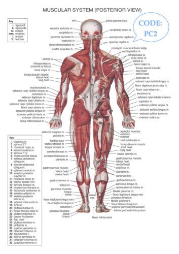 A2 A3 A4 Human Reflexology Muscular Skeletal Student Medical Posters Print Chart
