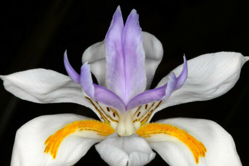 30 BUTTERFLY IRIS DROUGHT AND FROST HARDY AFRICAN IRIS FLOWER SEEDS NEW