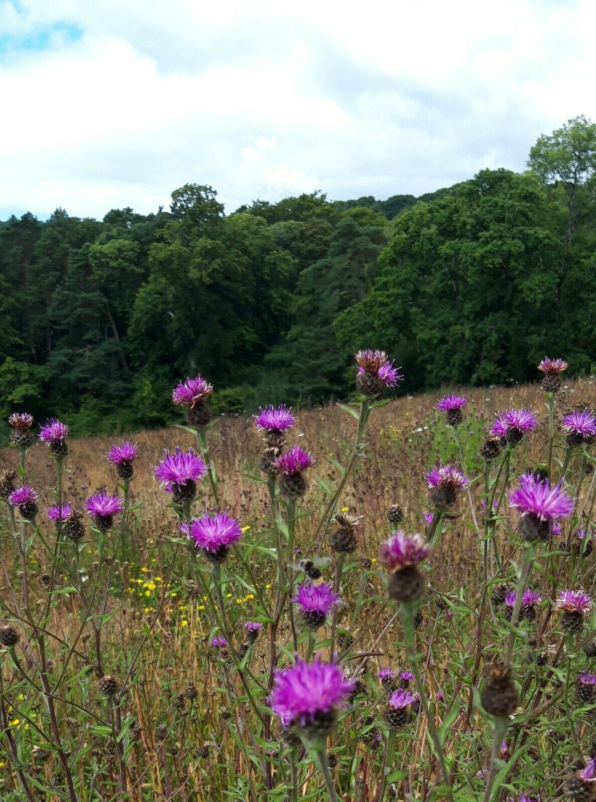 5g Common Knapweed (2000 seeds). Hand harvested on Hogchester nature reserve