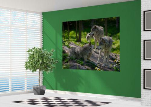 28931225 Schöne Close Up von Einem Wolf Packung IN Sommer Tapeten Wandbild