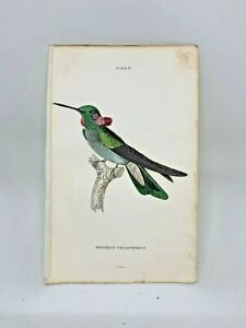1st-Ed-Hand-colored-Jardine-039-s-Natural-History-1834-Petasphorus-Hummingbird-13