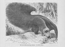 Große Ameisenbär Myrmecophaga tridactyla Holzstich von 1891 Mützel