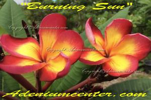 "NEW PLUMERIA RUBRA FRANGIPANI /"" BURNING SUN /"" 10 SEEDS FRESH  FREE SHIPPING"