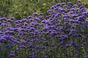 Elegant-Verbena-Bonariensis-tall-airy-autumn-grace-cut-flower-bee-amp-butterflies