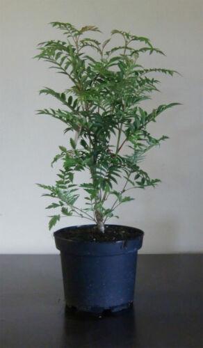 "R Eberesche Vogelbeere Sorbus /""Autumn Spire/"" 70-90 cm"