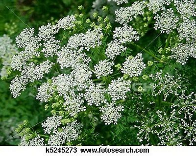 Queen Anne's Lace- 200 Seeds