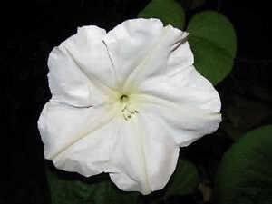 Giant white moonflower vine ipomoea alba 10 seeds huge image is loading giant white moonflower vine ipomoea alba 10 seeds mightylinksfo
