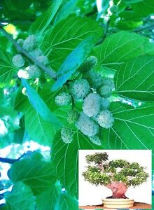 Jetzt pflanzen fürs Frühjahr ! Winterharter Weisser Maulbeerbaum ❆ Frische Samen