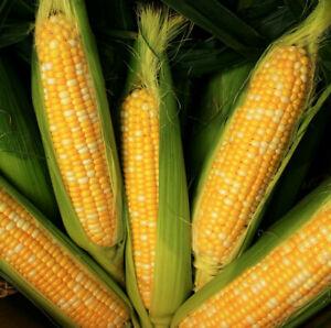 Peaches and Cream Sweet Corn Seeds   USA Untreated Organic NonGMO Bicolor 2021