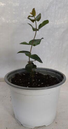 E Hardy Risdon Eucalipto Menta piperita risdonii gomma in una pentola 1 LITRI bianco.