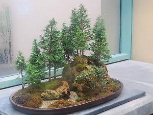 Image Is Loading Rare Redwood Bonsai Japanese Redwood Bonsai Tree Seeds