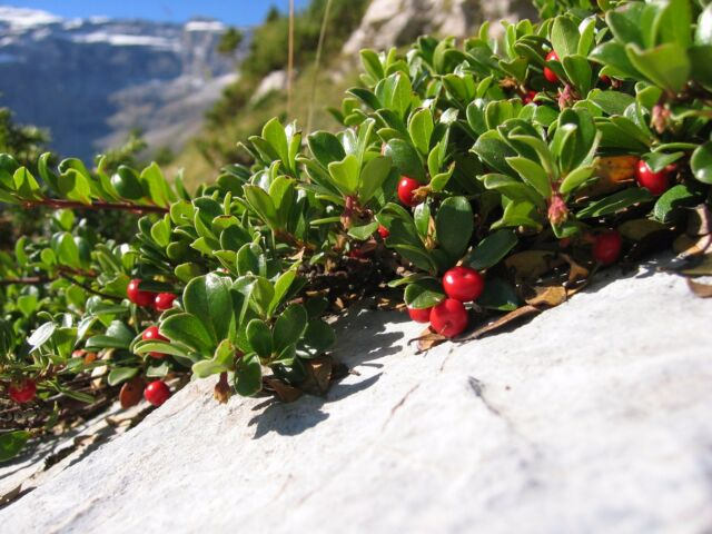 Bearberry - Arctosaphylos Uva-ursi - 25 seeds - Evergreen - Groundcover- Berries