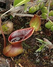 Nepenthes Lowii * Extremely RARE Lowland * Most Unusual Pitcher Plant * 5 Seeds