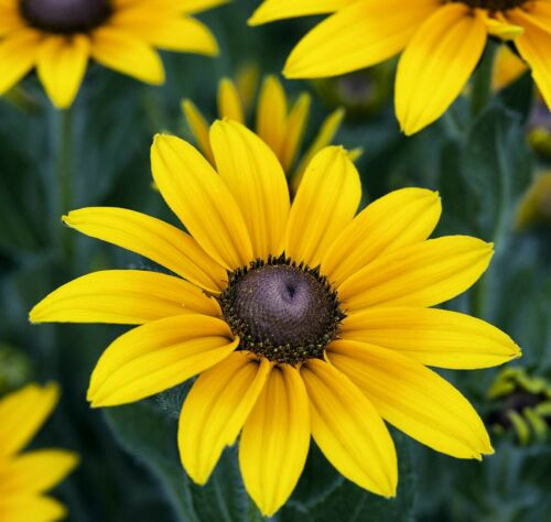 BLACK EYED SUSAN FLOWER SEEDS NON-GMO healthy USA Annual Flower seed pack daisy