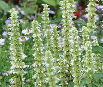 ANISE HYSSOP SNOW WHITE SPIKE Agastache Foeniculum 20 Seeds