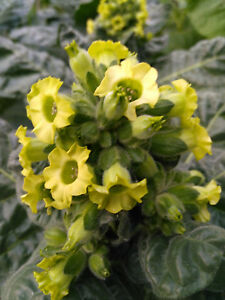 Details about Ceremonial Indian TOBACCO 1000+ seeds NICOTIANA RUSTICA  Mapacho Aztec Makhorka