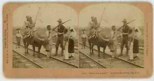 Philippine-American-War-BULLOCK-ON-THE-FIRING-LINE-Stereoview-21563