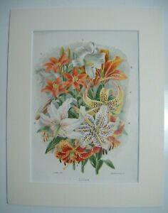 Antique c1880 Chromolithograph Botanical Floral Flower Print in Mount - LILIES