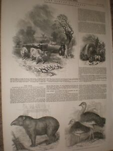 Tapir presented by Queen to Zoo antique print LONDON 1847