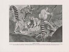 Gruppe von Katta Lemur catta Lemuren DRUCK von 1912 Ring-tailed lemur