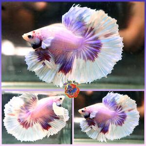 Live Betta Fish Male Fancy Red Magenta Butterfly Dumbo Ears Halfmoon #V609