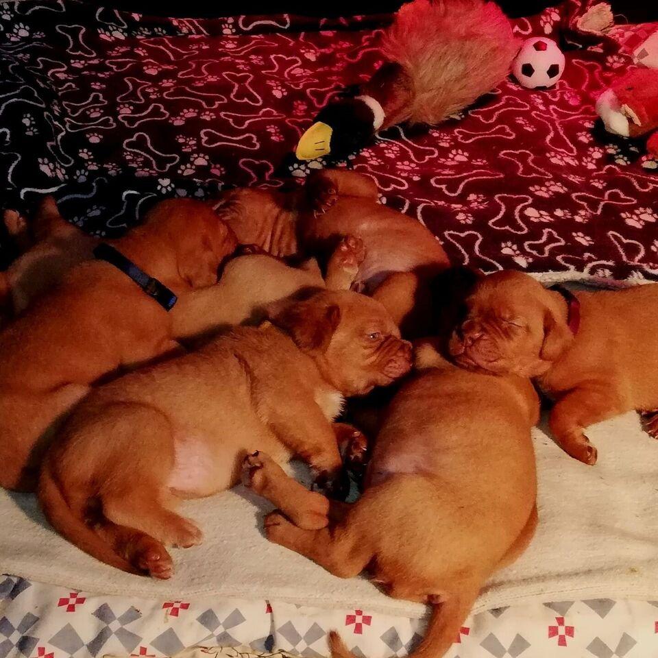 Dogue de Bordeaux, hanhund, hvalp