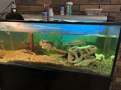 Turtle Tank In Gold Coast Region Qld Pets Gumtree Australia Free Local Classifieds