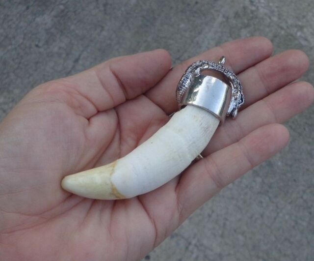 Huge 3-3/4 inch Alligator tooth pendant for necklace gator head jewelry # 21394