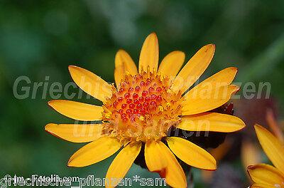 Arnica Montana Real Arnica 10 seeds Valuable heilpflanze Herbs Flower