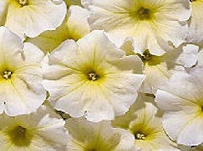 Petunia Seeds Aladdin Yellow Petunia 50 Pelleted Seeds