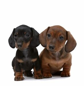 Details About New Dachshund Puppy Dog Breed Greeting Card Dogs Dad Mum Birthday Cards
