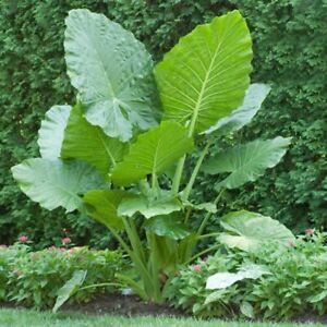 100-Stuecke-Colocasia-Gigantea-Samen-Zierlaub-Pflanze-Hausgarten-Hof-Dekor-Loud