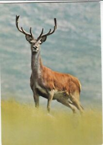 Red-Stag-Postcard-unused-VGC