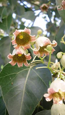 zieht Schmetterlinge an 20 Samen,20 seeds schöne Blühpflanze Helicteres isora
