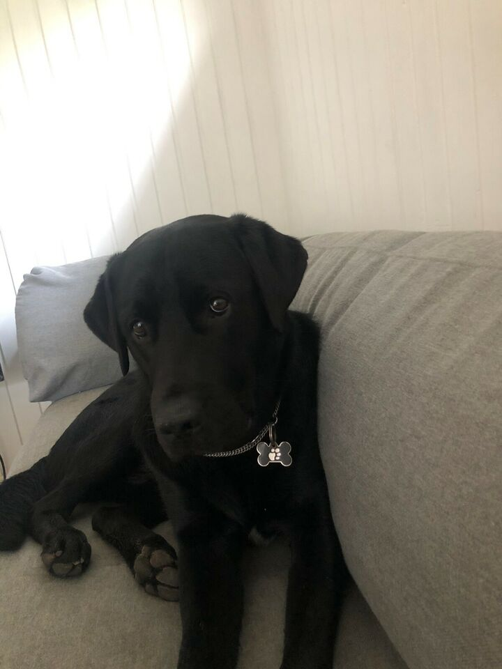 Labrador , hund, 12 mdr.