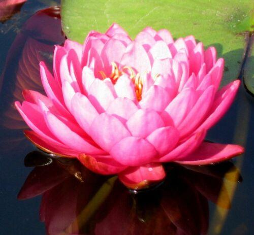 Seerose Nymphaea /'Perrys Fire Opal/' Seerosen Teichpflanze Teichpflanzen