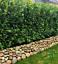 Kirschlorbeer-Novita-140-160-cm-8-14-x-Prunus-Novita-Hecke-inkl-Versand Indexbild 2