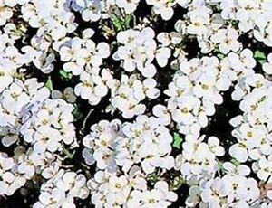Arabis-Snowcap-50-Seeds