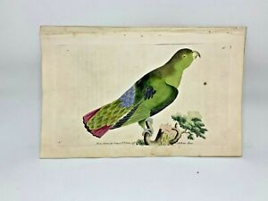 Purple-Tailed-Parrakeet-1783-RARE-SHAW-amp-NODDER-Hand-Colored-Copper-Engraving