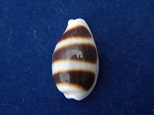 Sea-Shells-Cypraea-asellus-Asellus-Cowrie-22mm-ID-3618B