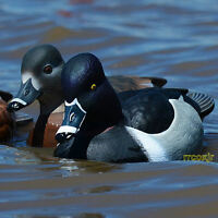 Avery Greenhead Gear Ghg Pro-grade Ring-neck Necked Duck Decoys Weighted Keel 6 on sale