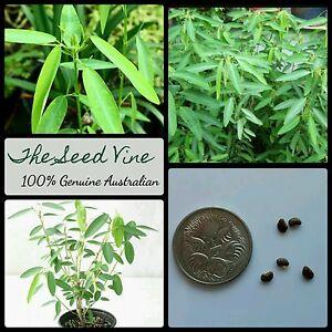 50Pcs Dancing Plant Codariocalyx Motorius Telegraph Shrub Seed Desmodium Gyrans