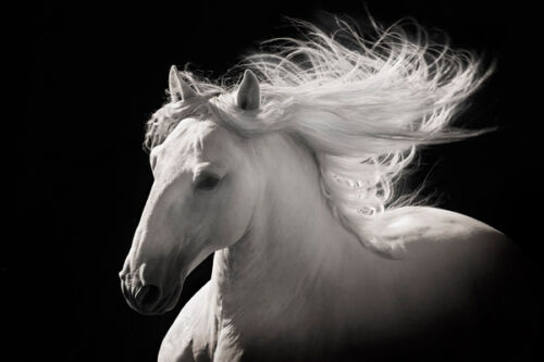 Grey Ghost by Robert Dawson Canvas Giclee White Horse Open Edition