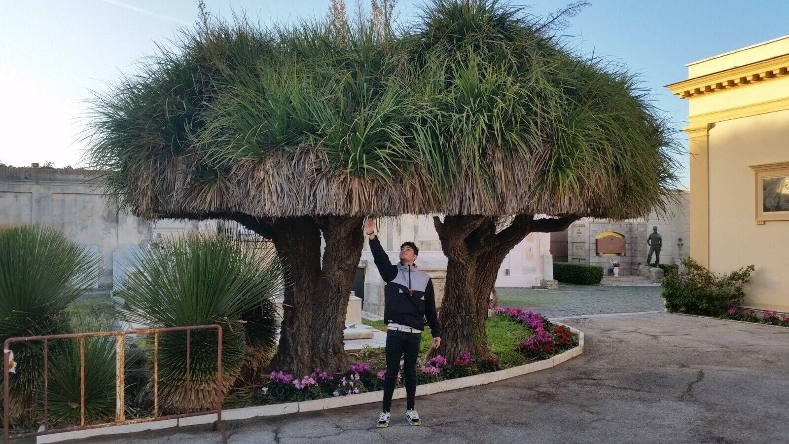 1 Plant vq7 Nolina Longifolia Beaucarnea Longifolia Plant Air Exhauster arborea