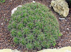 clumping barrel cactus ferocactus robustus 10 seeds ebay