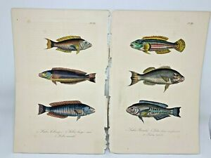 Original-Antique-Hand-Colored-Fish-Print-Lacepede1840-Plates-81-amp-82-Cuvier